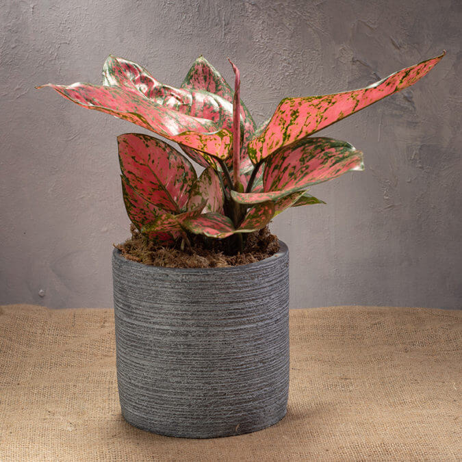 Aglaonema Red Master in Cement Vase