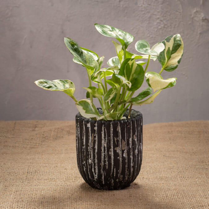 Pothos N'joy in Cement Vase
