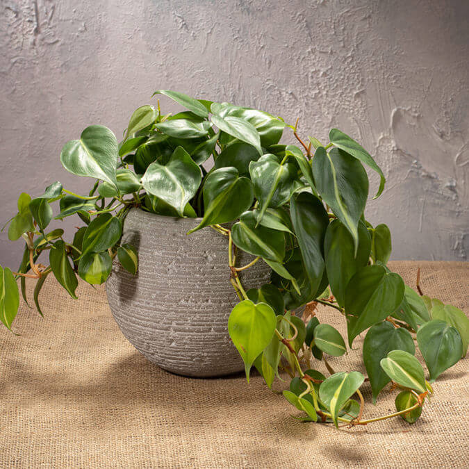Philodendron Scandens in Cement Vase