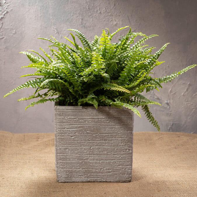 Boston Fern in Cement Vase